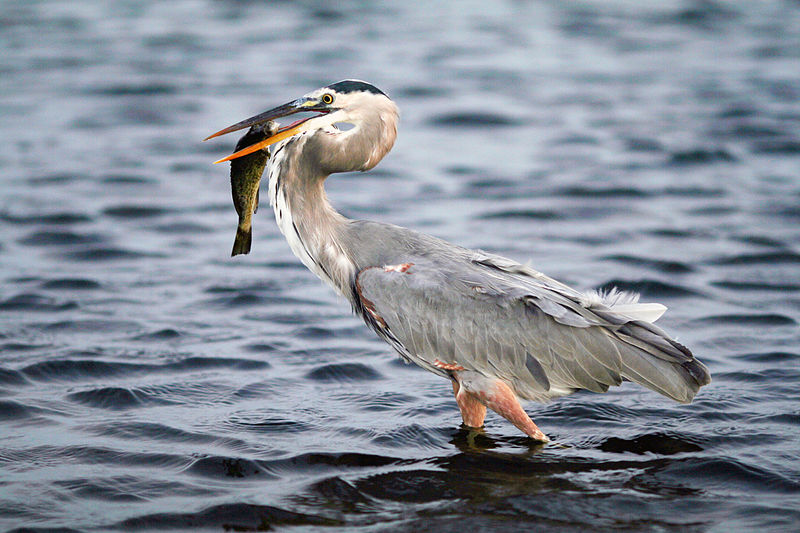 Great Blue Heron catches dinner. Photo: Terry Foote at en.wikipedia