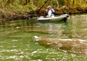 "Phyllis and her Sea Eagle FastTrack were a ""manatee magnet"" on her recent kayaking trip in Three Sisters Spring, Florida"