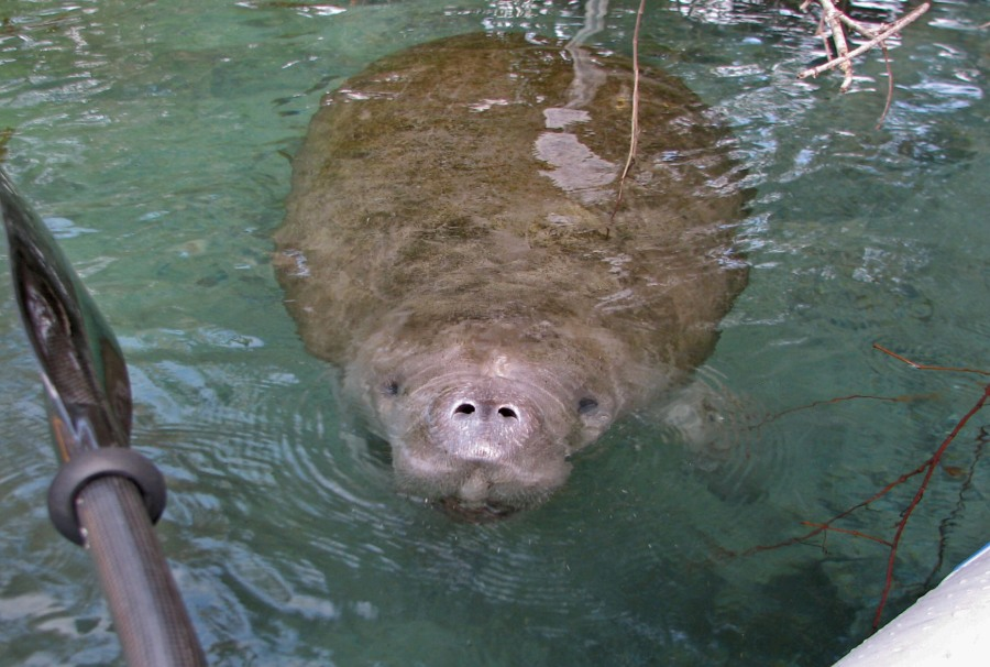 Up close and personal with manatee