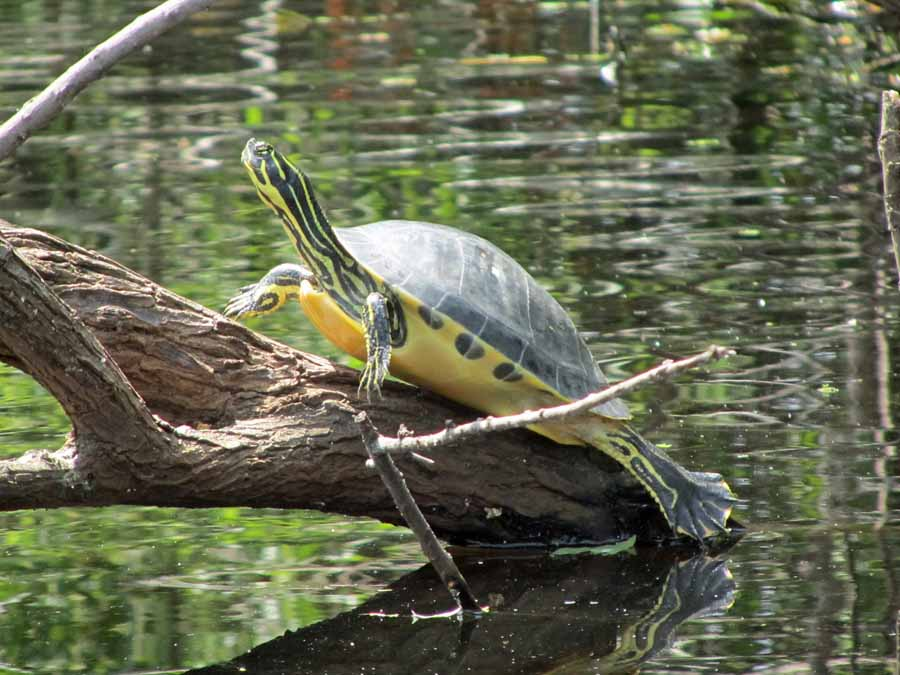 Wildlife abounds in and around Florida's Hillsborough River. A snoozing turtle catches a few rays on a warm Florida afternoon.
