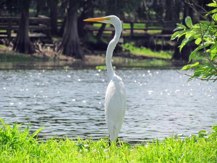 Bob's a skilled photographer as his photo of a great egret demonstrates.