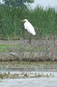 Linda and Marc spotted this white heron while kayaking in their Sea Eagle in Goose Pond in Linton, Indiana