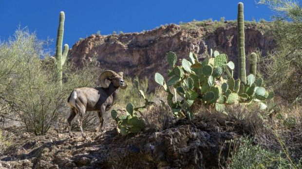 matt-soeffner-canyon-lake-bighorn-sheep-4491